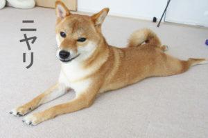 柴犬コマリ ニヤリ