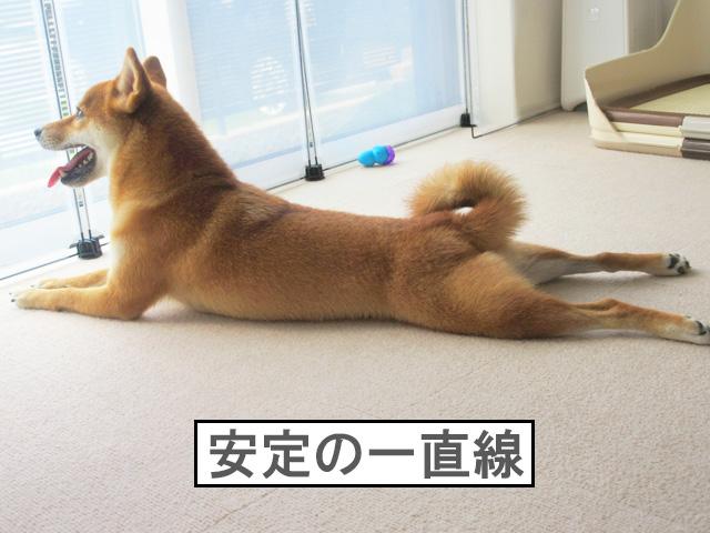 柴犬コマリ 一直線