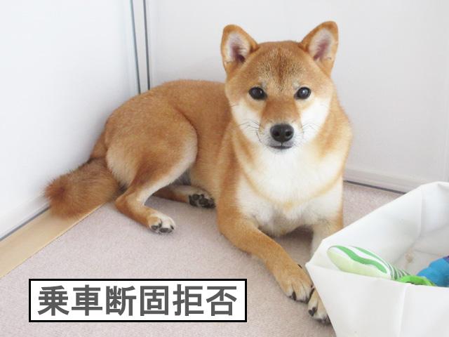 柴犬コマリ 車嫌い