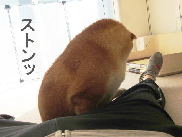 柴犬コマリ 寝る