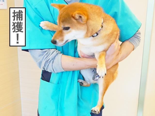 柴犬コマリ 病院