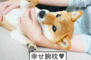 柴犬コマリ 腕枕