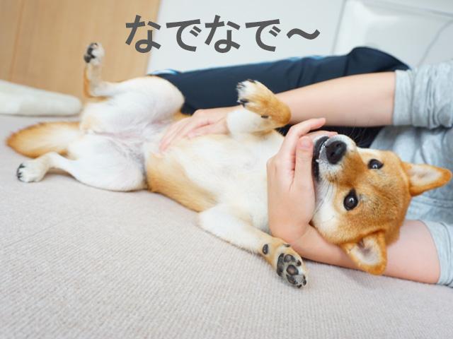 柴犬コマリ 一眼レフ