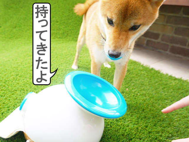 柴犬コマリ ifetch