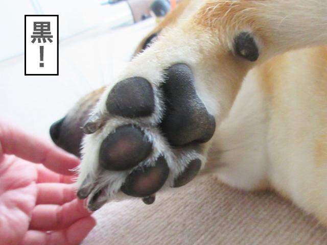 柴犬コマリ 肉球 クリーム