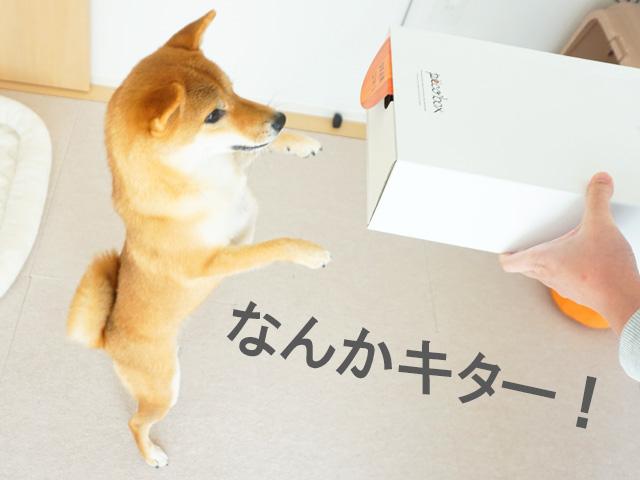 柴犬コマリ PECOBOX
