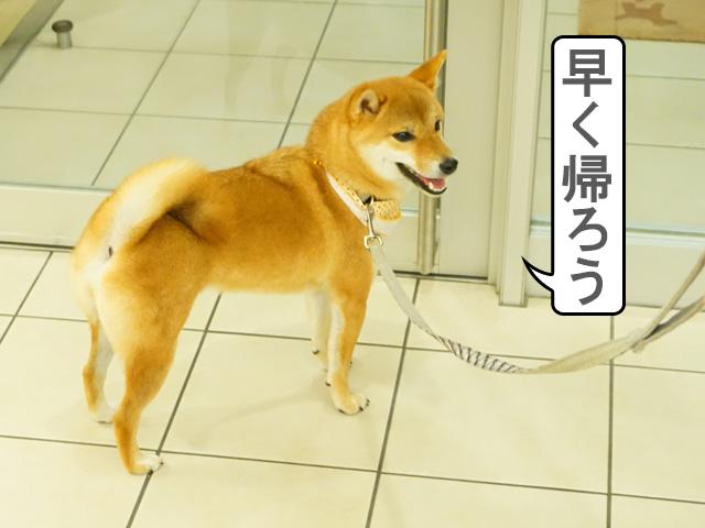 柴犬コマリ 動物病院 血液検査