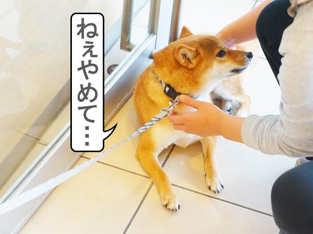 柴犬コマリ 動物病院 シャンプー
