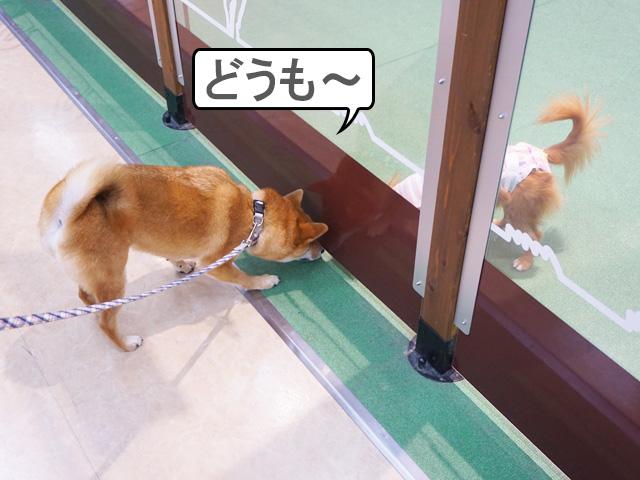 柴犬コマリ イオンペット ドッグラン