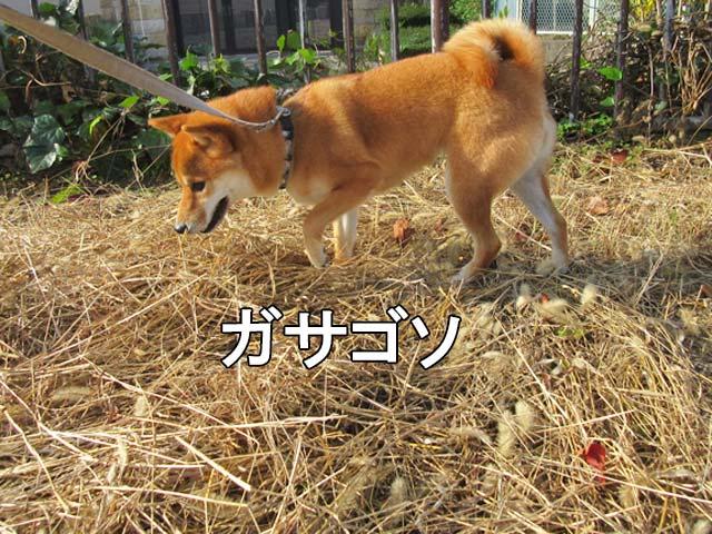 柴犬コマリ 枯れ草