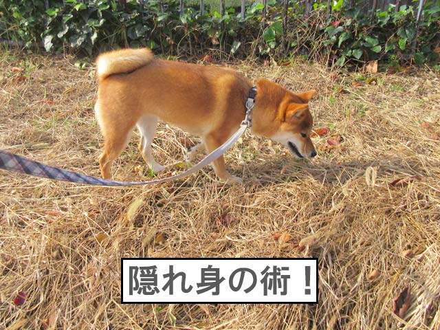 柴犬コマリ 隠れ身の術