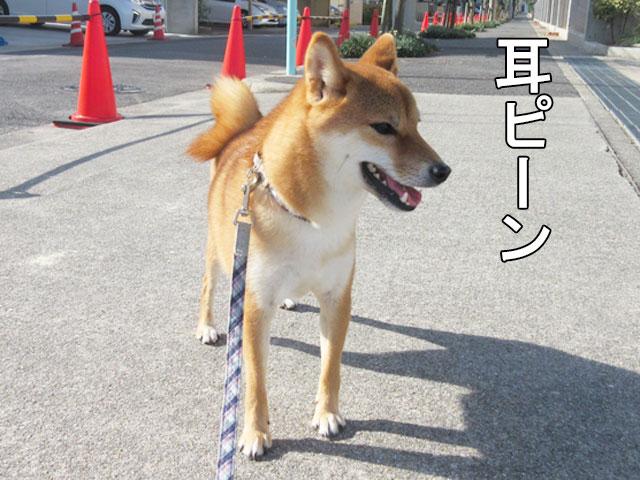 柴犬コマリ 小学校