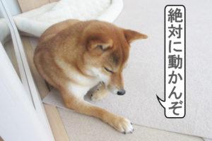 柴犬コマリ 頑固親父