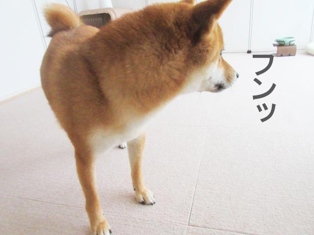 柴犬コマリ 不満