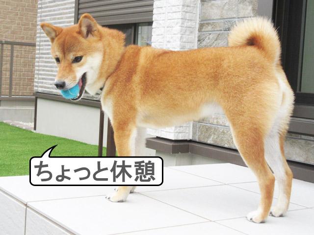 柴犬コマリ 庭 ボール