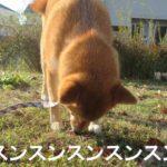 柴犬コマリ 匂い嗅ぎ