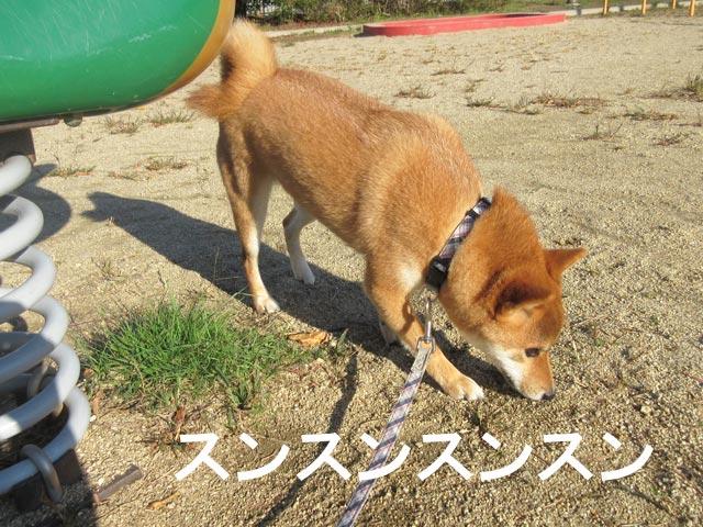 柴犬コマリ 匂い嗅ぎ 公園