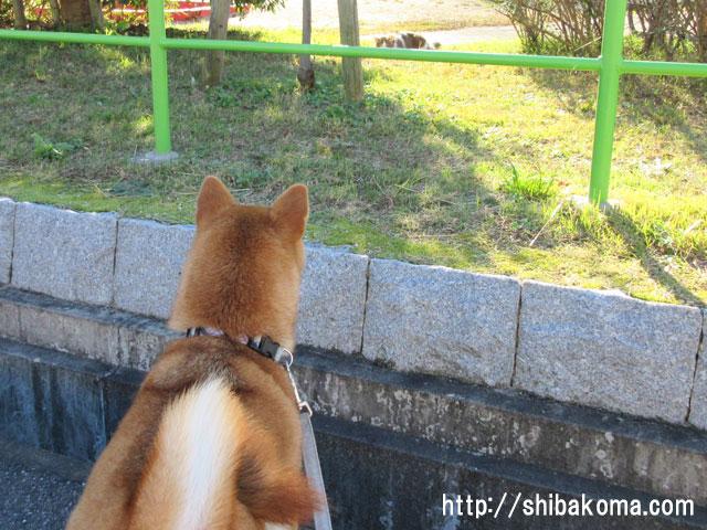 柴犬コマリ 猫 ネコ