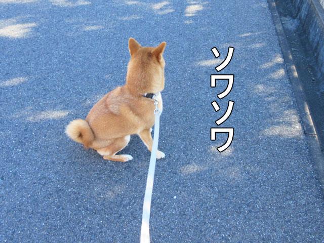 柴犬コマリ ネコ