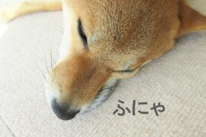 柴犬コマリ 上唇