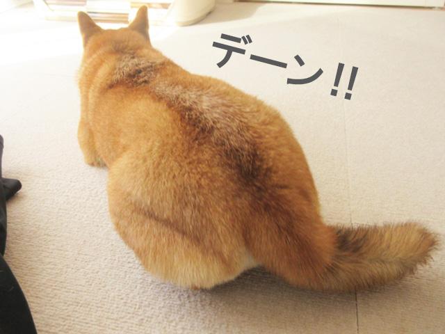 柴犬コマリ 尻