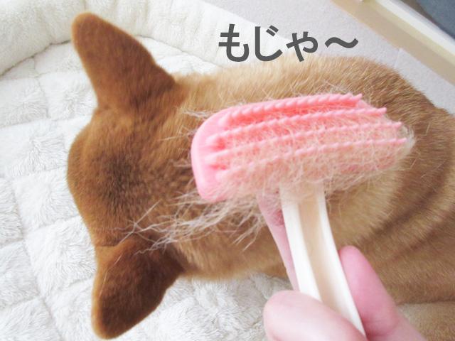 柴犬コマリ 換毛期 ブラッシング