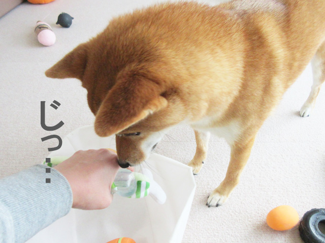柴犬コマリ ガン見