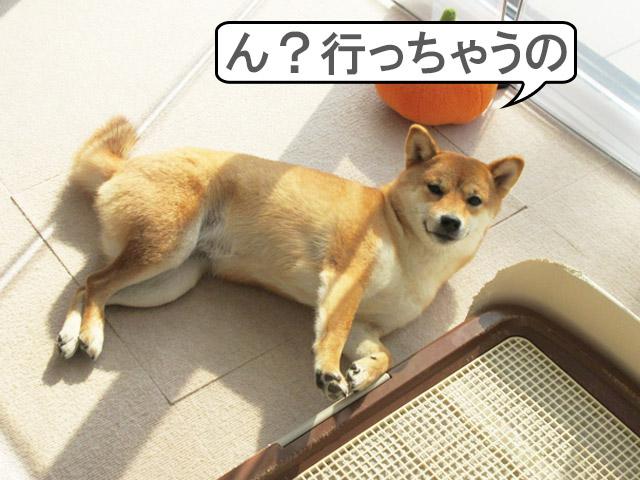 柴犬コマリ 寝ぼけ顔