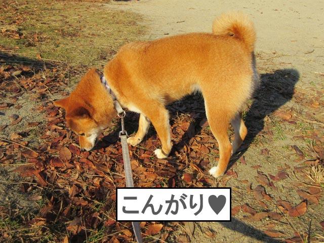 柴犬コマリ 秋