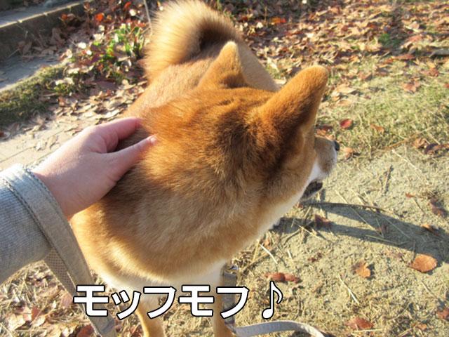 柴犬コマリ 後頭部