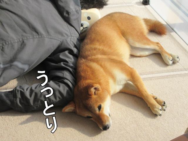 柴犬コマリ 添い寝