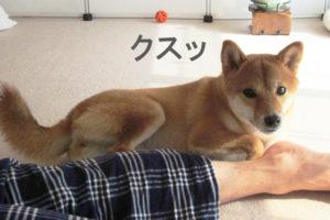 柴犬コマリ 乙女