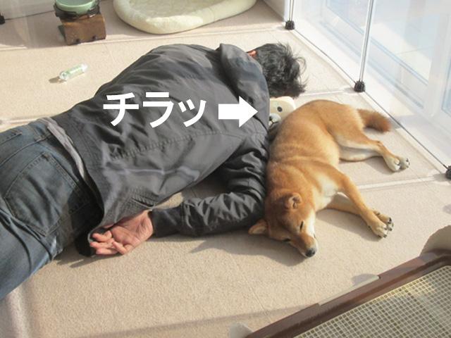 柴犬コマリ テトリス