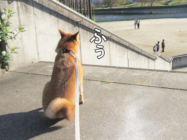 柴犬コマリ ゲートボール