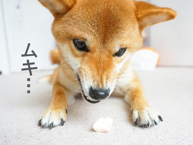 柴犬コマリ ドギーボックス doggybox
