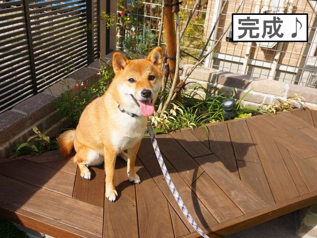 柴犬コマリ 犬 庭