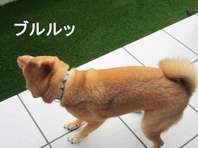 柴犬コマリ 犬 庭 リフォーム