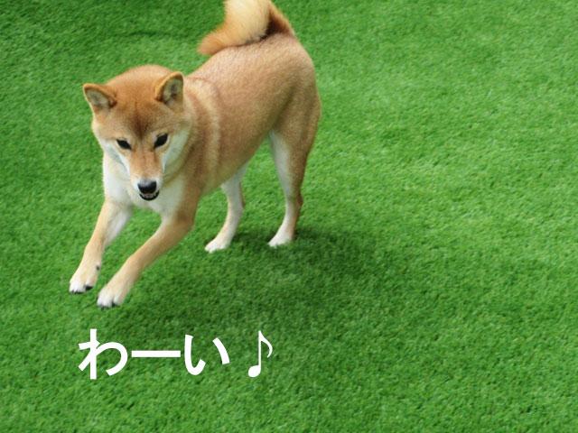 柴犬コマリ 犬 庭 人工芝