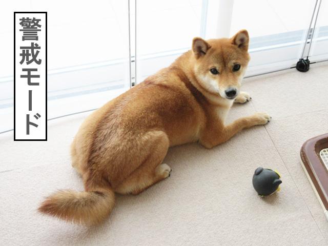 柴犬コマリ 犬 しつけ