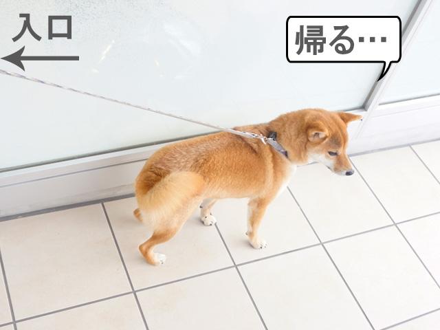柴犬コマリ 病院 シャンプー