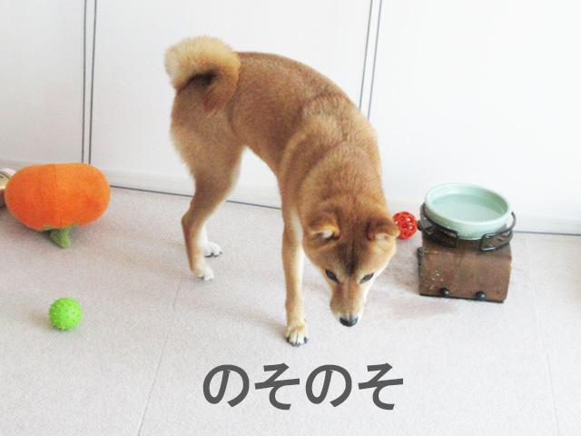 柴犬コマリ 水 イタズラ