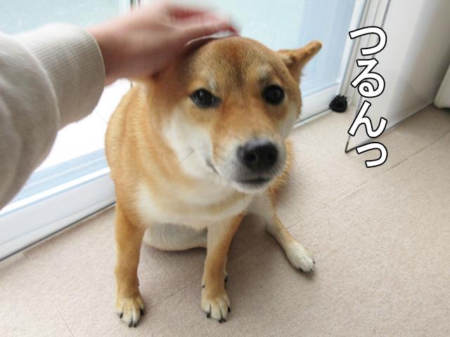 柴犬コマリ アザラシ