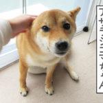 柴犬コマリ アザラシゴマちゃん