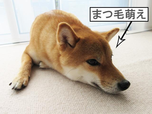 柴犬コマリ まつ毛
