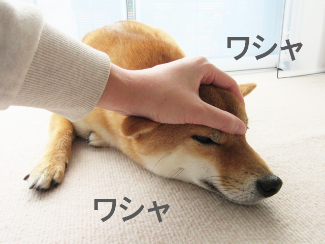 柴犬コマリ 眉間