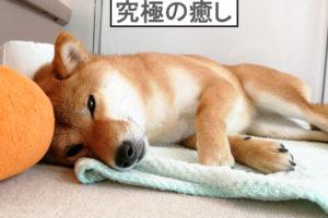柴犬コマリ ユカペットEX