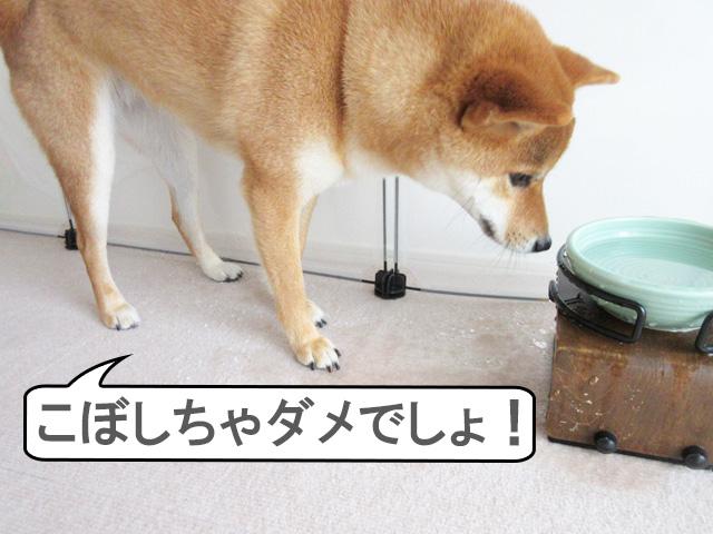 柴犬コマリ イタズラ動画