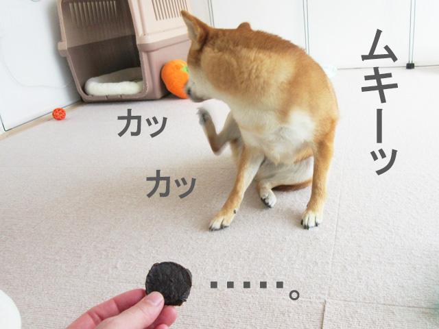 柴犬コマリ まぐろチップ