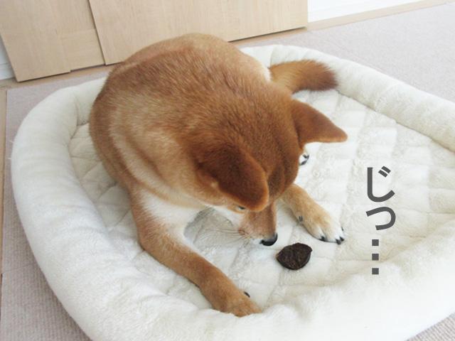 柴犬コマリ おやつ まぐろチップ