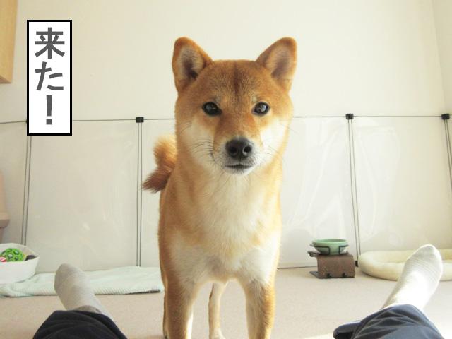 柴犬コマリ 柴犬ホイホイ